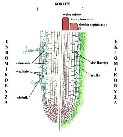 ektomikoryza i endomikoryza