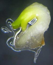 mikrorozmnażanie-roślin