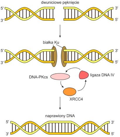 Naprawa Dna Biotechnologia E Biotechnologia Pl