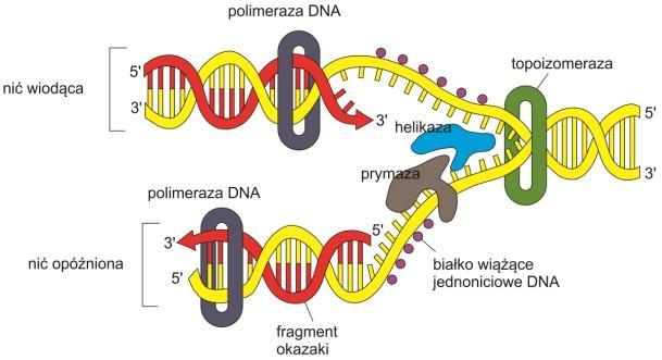 Replikacja Dna Biotechnologia E Biotechnologia Pl
