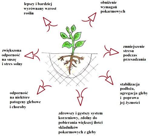 mikoryza wpływ